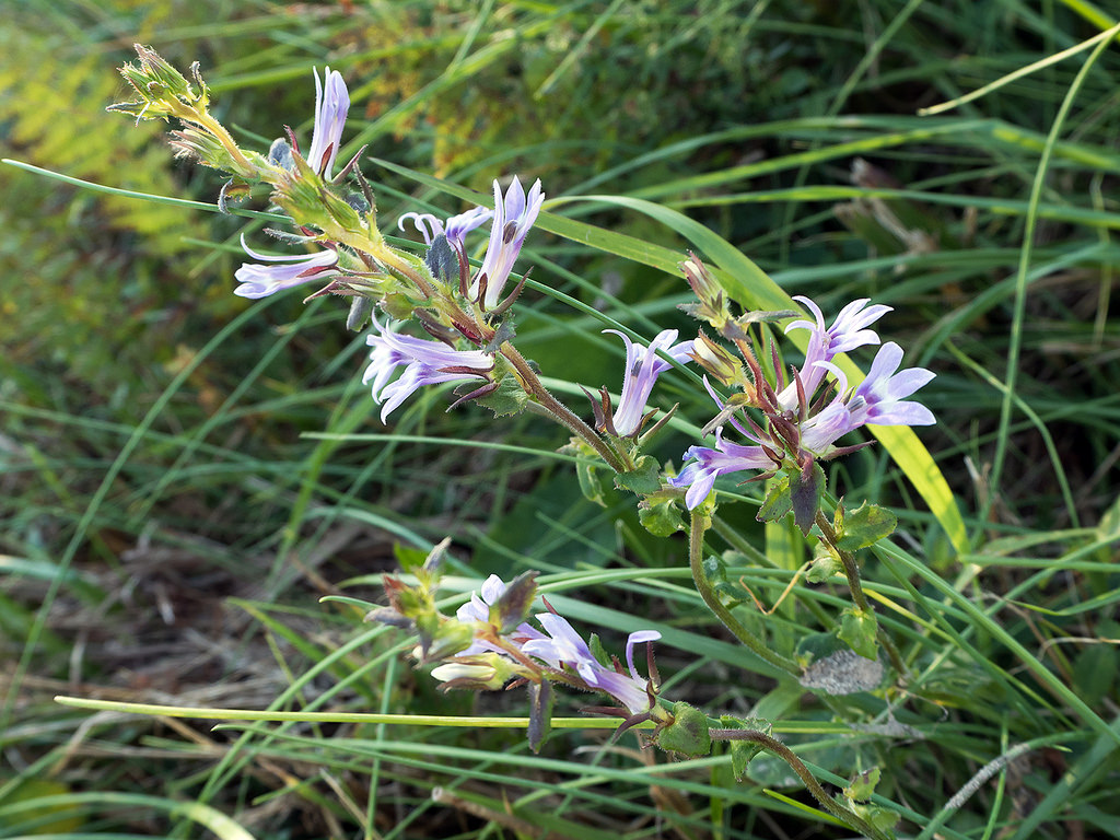 Maryland Biodiversity Project - Downy Lobelia (Lobelia ...